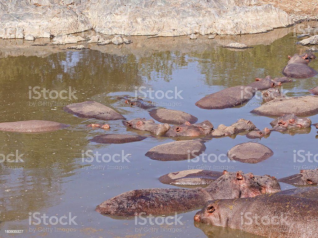 Numerous Hippopotamuses bathe in river with stone bank royalty-free stock photo