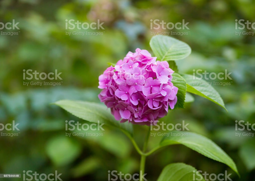 numerous small flower phlox soft pink blossoms spring day stock photo