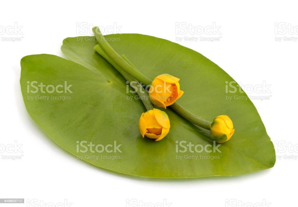 amarillo de nenúfares brandy-bottle 20 Semillas Nuphar lutea