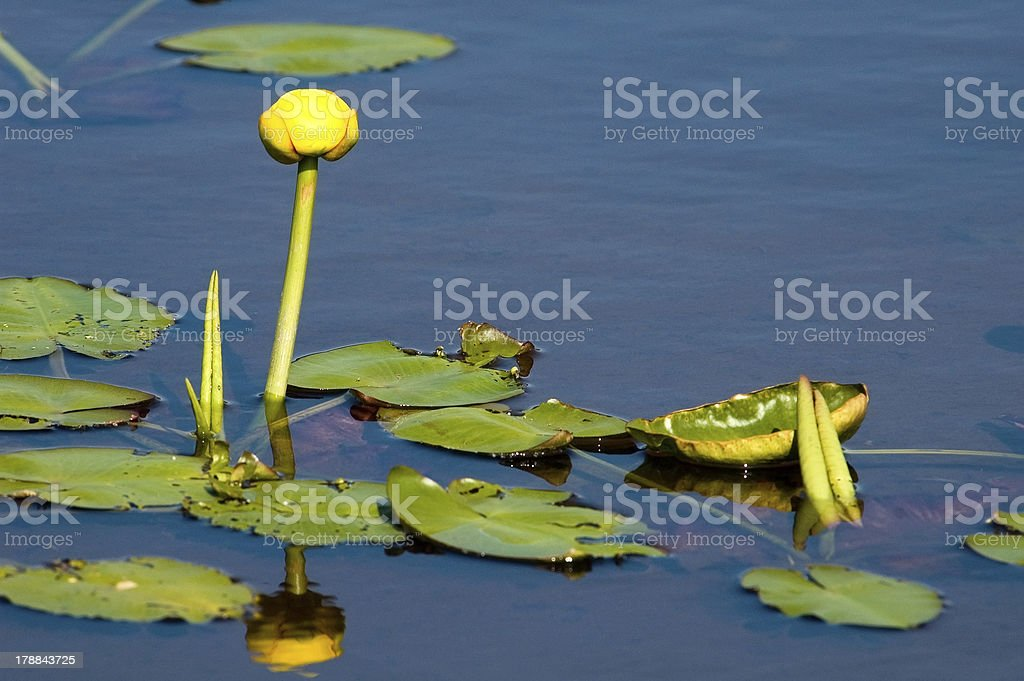 Nuphar lutea,Yellow Water-lily stock photo