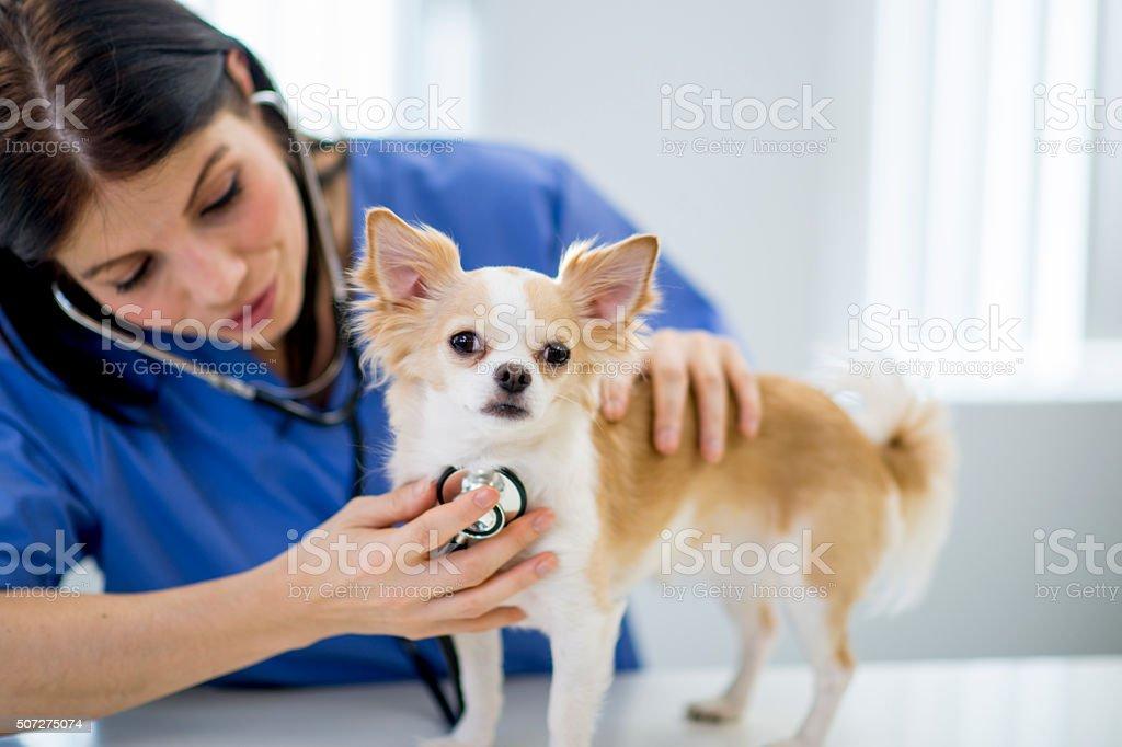 Nurse Listening to a Dog's Heartbeat stock photo