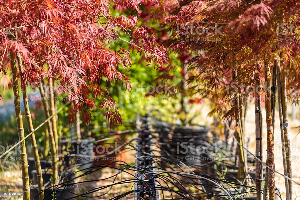 Nursery of ornamental red trees stock photo