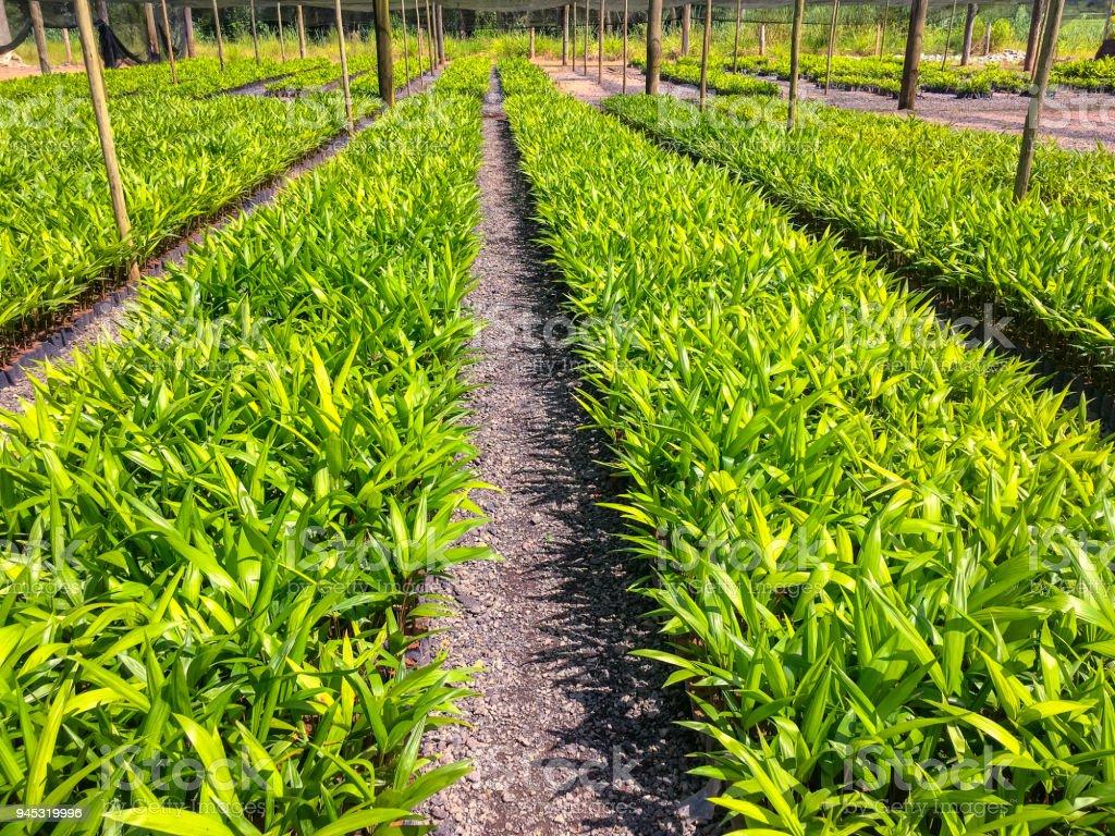 Kinderstube der Pupunha Palmenplantage – Foto