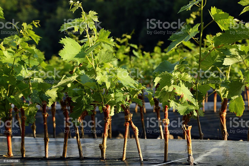 Nursery of vine in the French countryside royalty-free stock photo