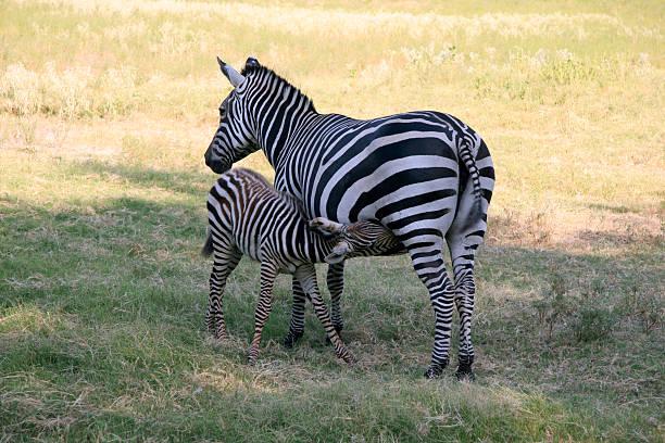 Nursing zebra calf and mother