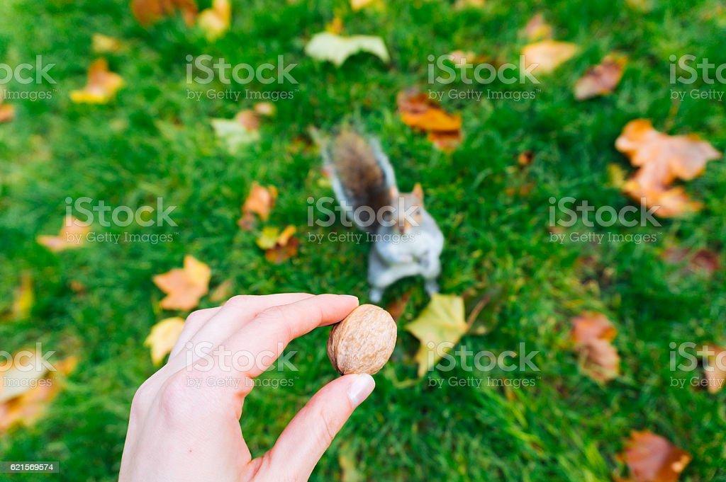 Nut for brown squirrel Lizenzfreies stock-foto