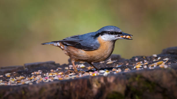 Nuthatch at the Saltwells Local Nature Reserve. stock photo