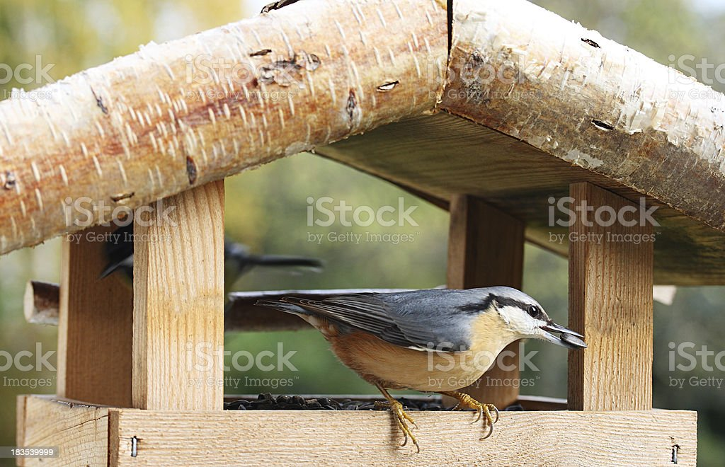 Nuthatch bird at birdhouse with sunflower seed in beak royalty-free stock photo