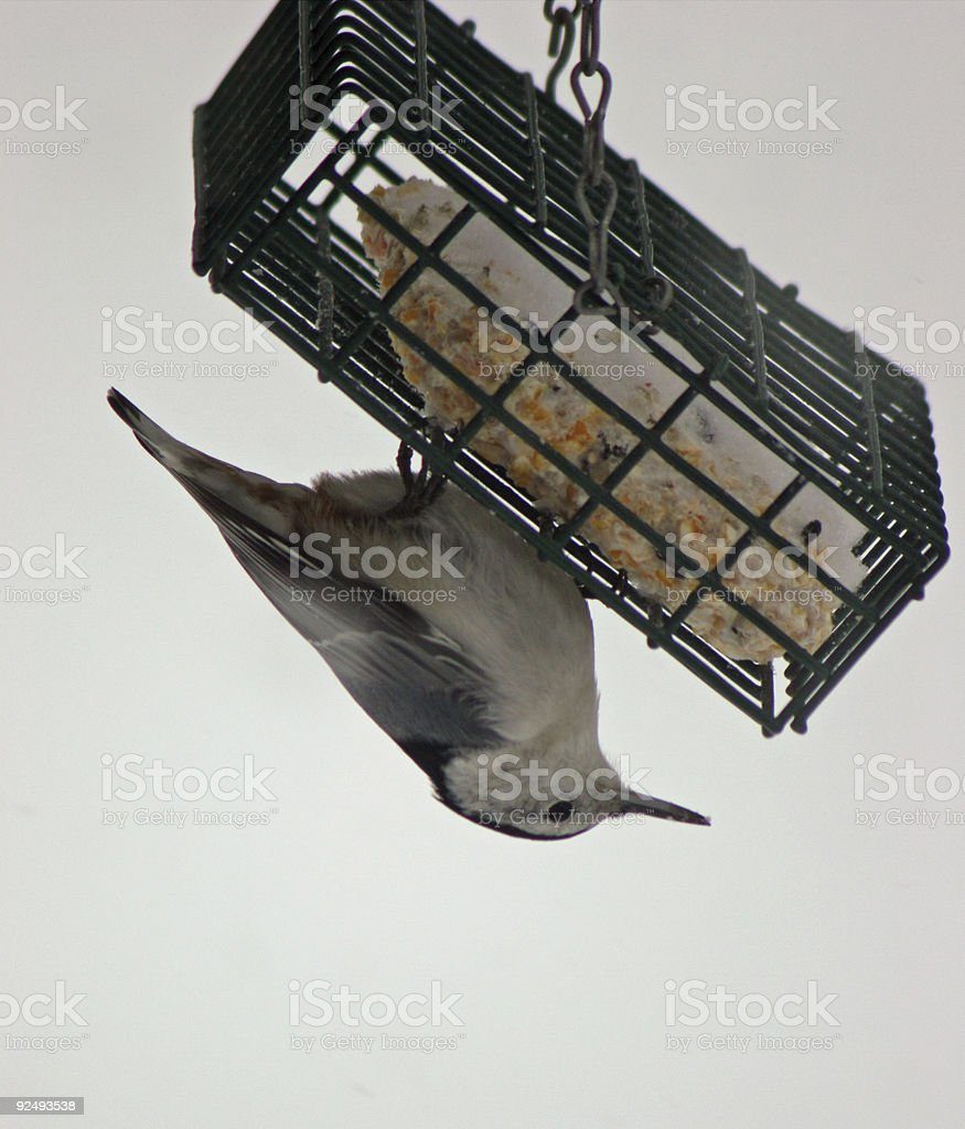 Nuthatch Hanging from Suet Feeder royalty-free stock photo
