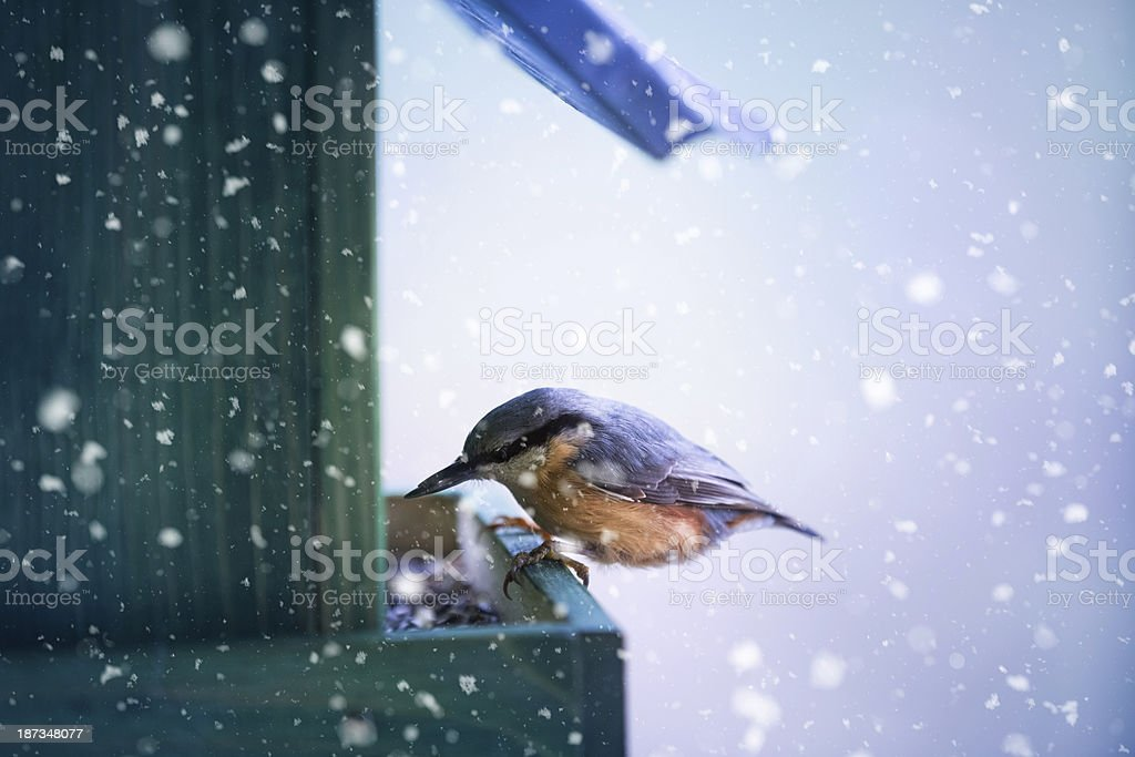 Nuthatch In A Bird House royalty-free stock photo