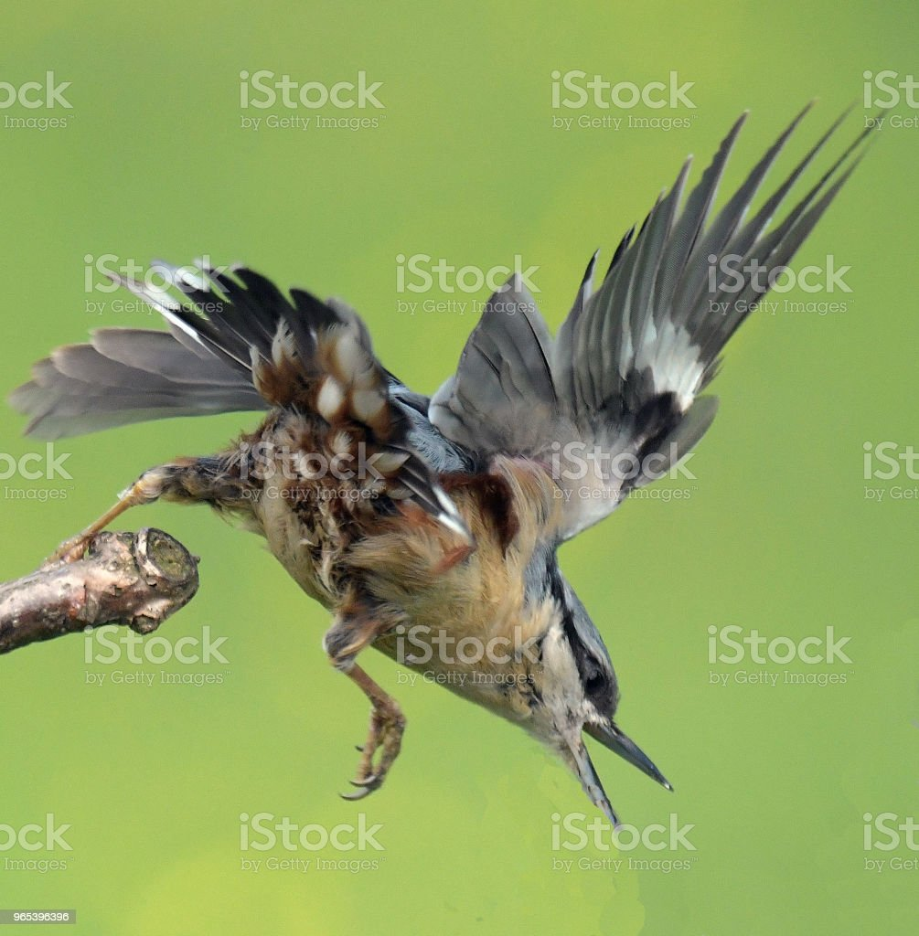 Nuthatch in flight zbiór zdjęć royalty-free