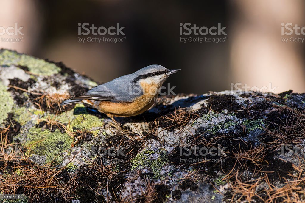 Nuthatch on the rocks stock photo