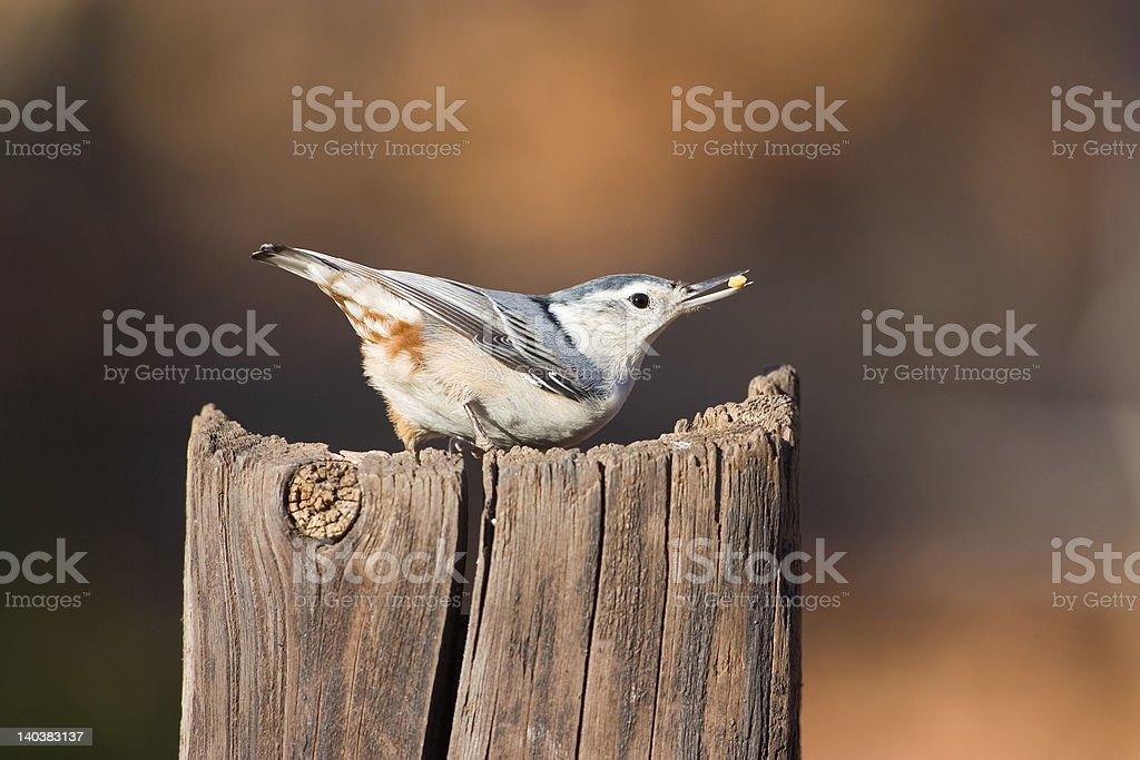 Nuthatch - Royalty-free Bird Stock Photo