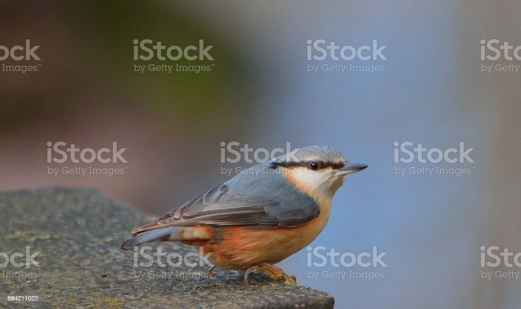 Nuthatch royalty-free stock photo