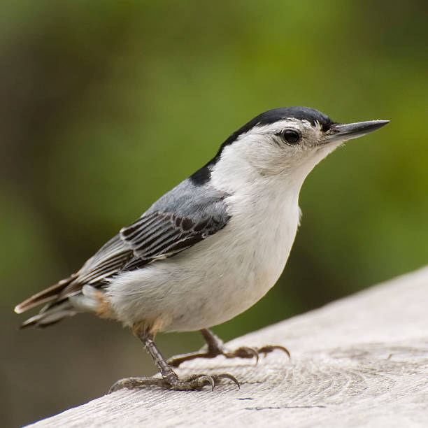 Nuthatch up close stock photo