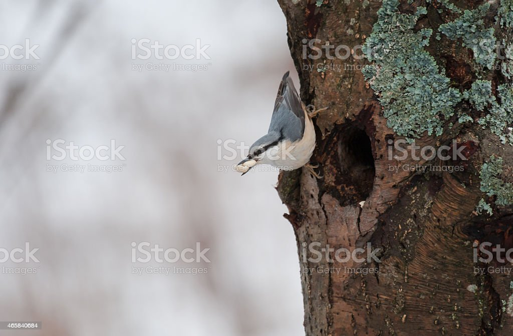 Nuthatch with a nut stock photo