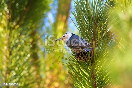 A white-breasted nuthatch (Sitta carolinensis) gathers seeds from pinecones in Maxwell Canyon, Utah, USA.