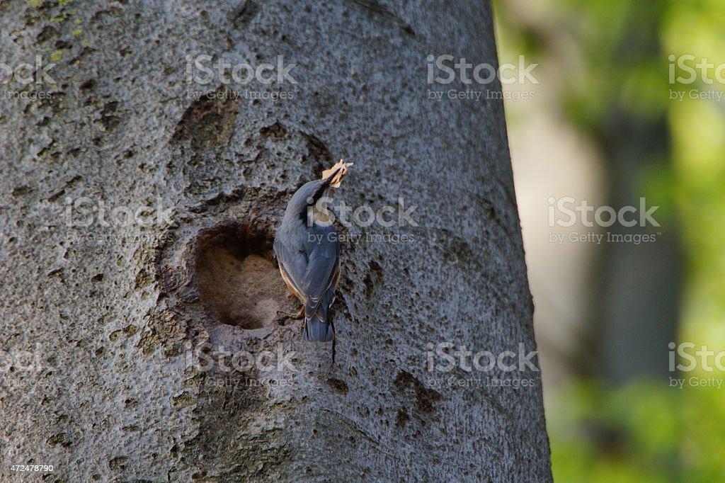 Nuthatch woodpecker nest-building on beech tree stock photo