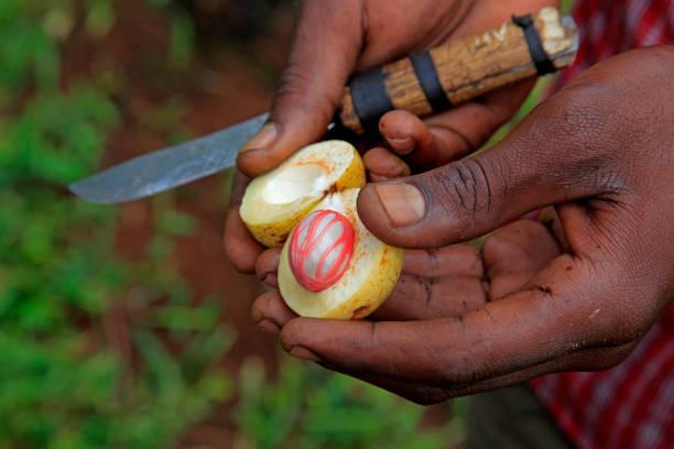 Muskatnuss auf Spice Farm, Sansibar, Tansania – Foto