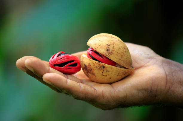 Nutmeg in hand Nutmeg in a farmers hand with green background nutmeg stock pictures, royalty-free photos & images