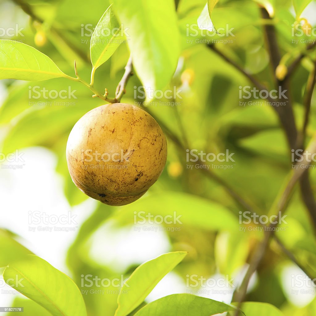 Nutmeg in Tree royalty-free stock photo