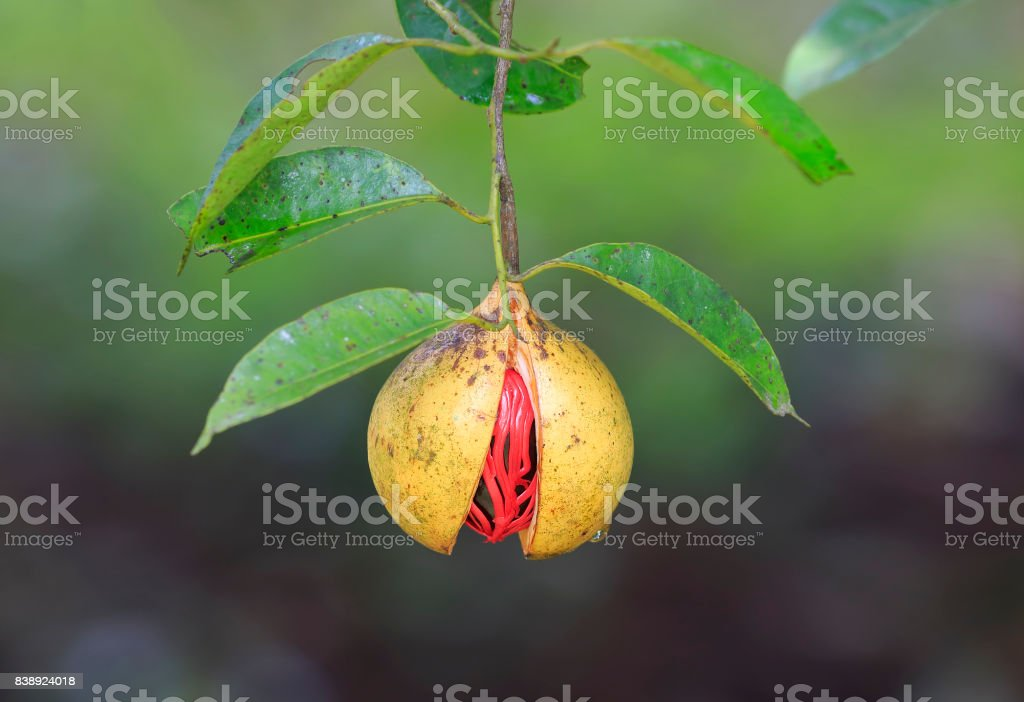 Nutmeg on a tree stock photo