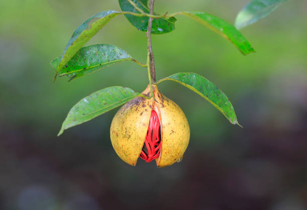 Nutmeg on a tree Fully grown nutmeg in green background nutmeg stock pictures, royalty-free photos & images