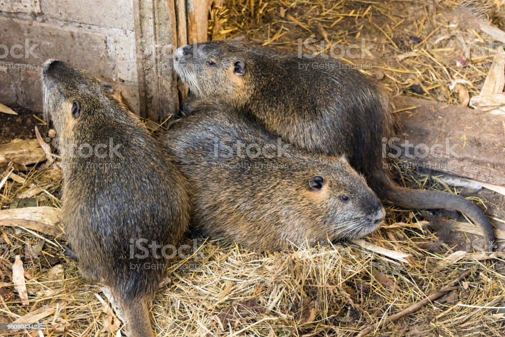 nutria farm. Close-up cultivation of nutria as valuable fur and ellitic meat. stock photo
