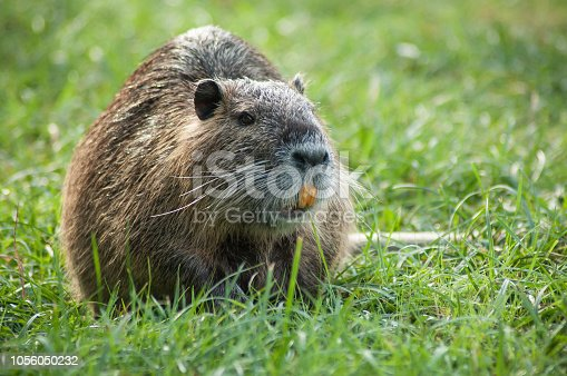 portrait of nutria in the grass