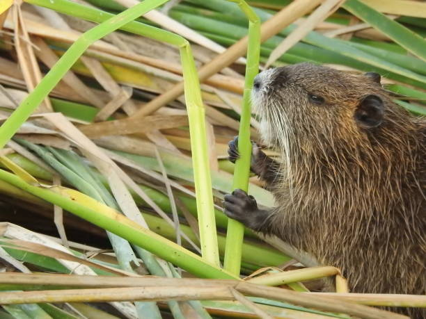 Nutria nibbling on pond reed stock photo