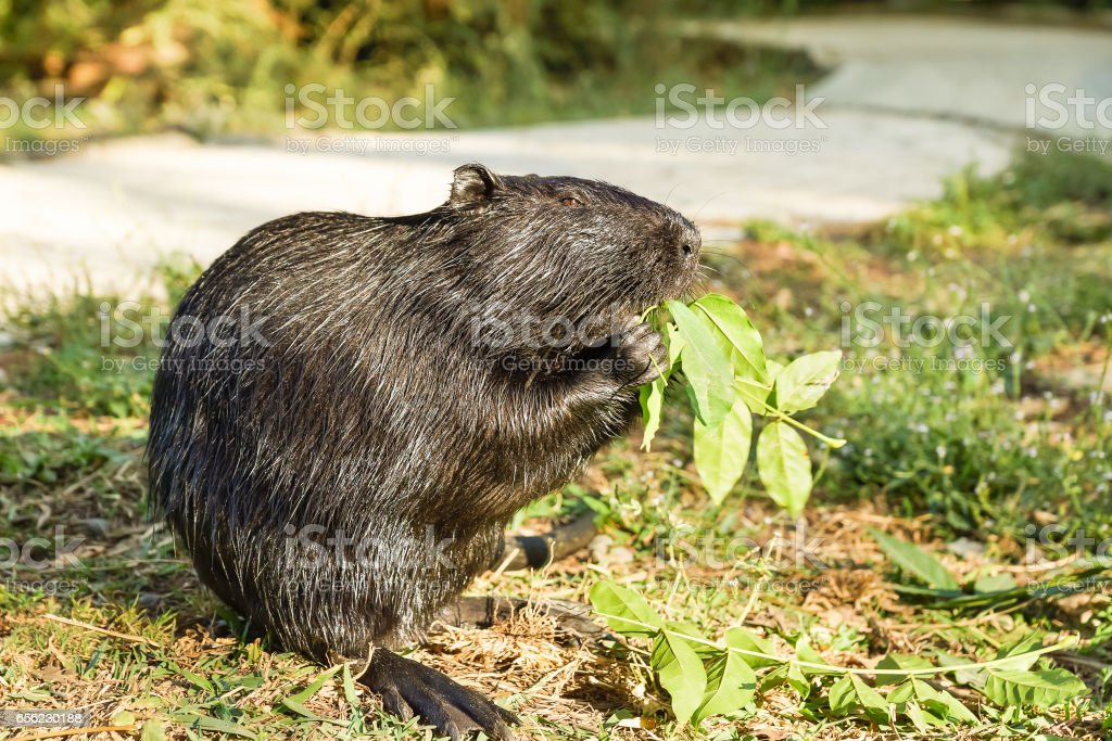 Nutria Or Coypu Or Swamp Beaver A Mammal Of The Rodent Stock Photo ...
