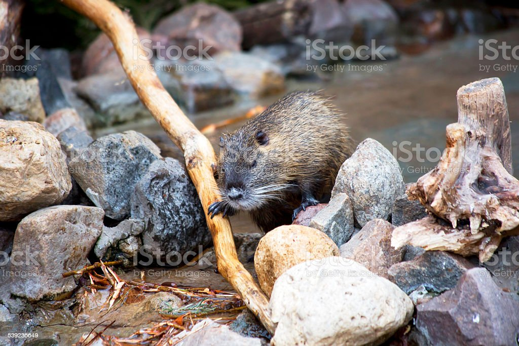 Nutria royalty-free stock photo