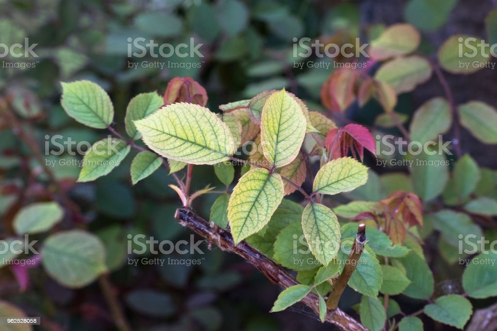 Nutrient deficiency in roses such as lack of iron recognizable by the chlorotic leaves, copy space stock photo