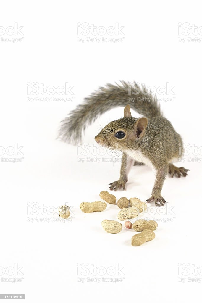 Nuts for Peanuts royalty-free stock photo