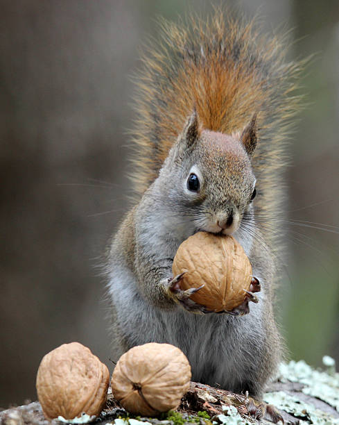Top 60 Squirrel Stock Photos Pictures And Images Istock
