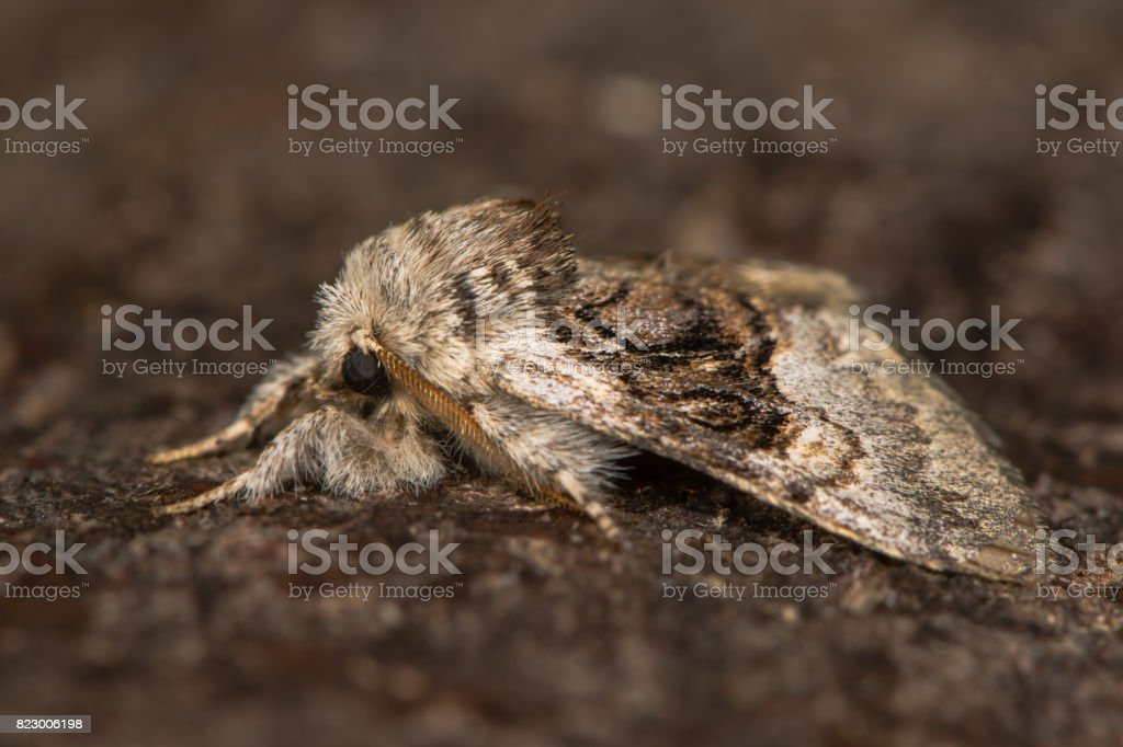 Nut-tree tussock moth (Colocasia coryli) at rest in profile stock photo