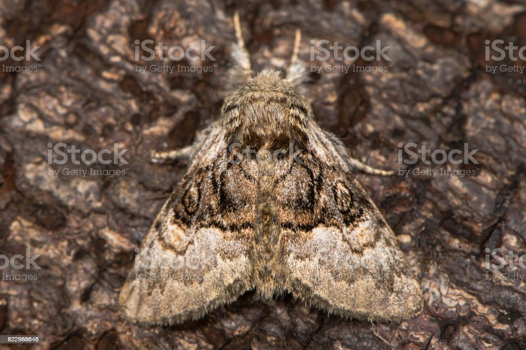 Nut-tree tussock moth (Colocasia coryli) at rest on bark stock photo