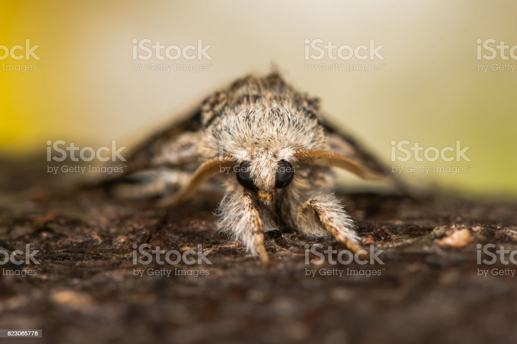 Nut-tree tussock moth (Colocasia coryli) head on stock photo