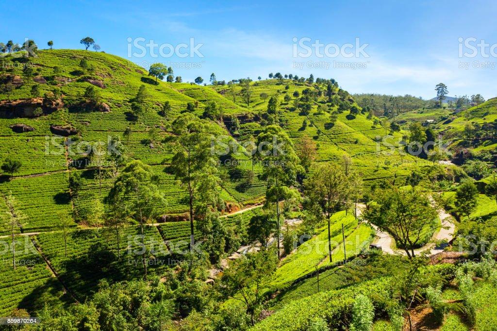 Nuwara Eliya tea plantation stock photo