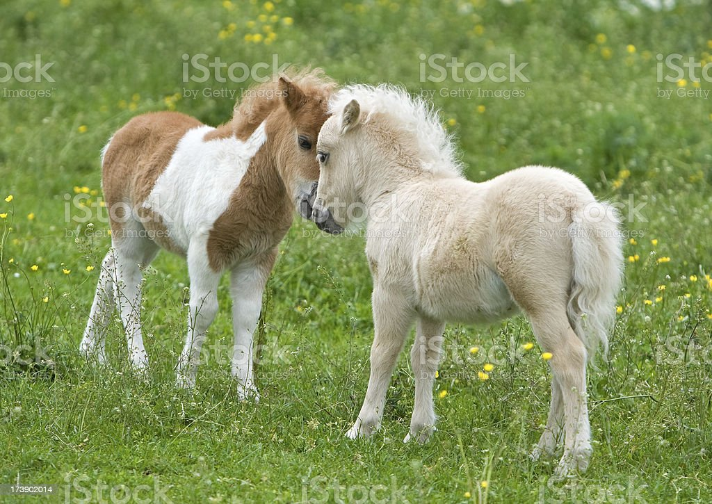 Nuzzling Falabella Foals stock photo