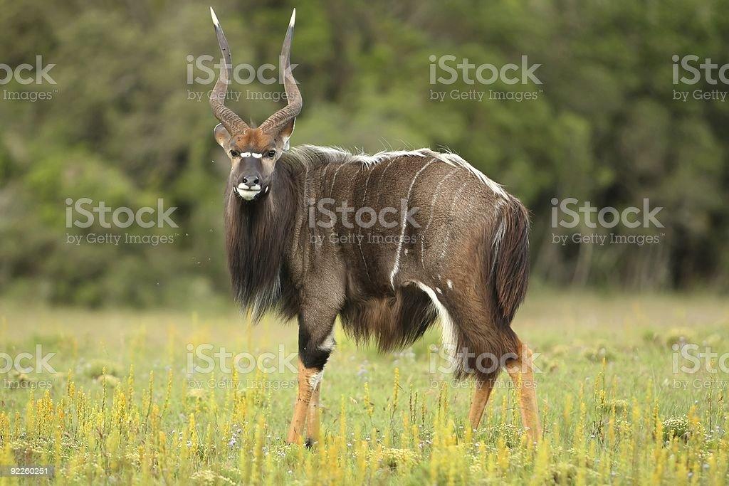 Nyala Antelope Ram stock photo