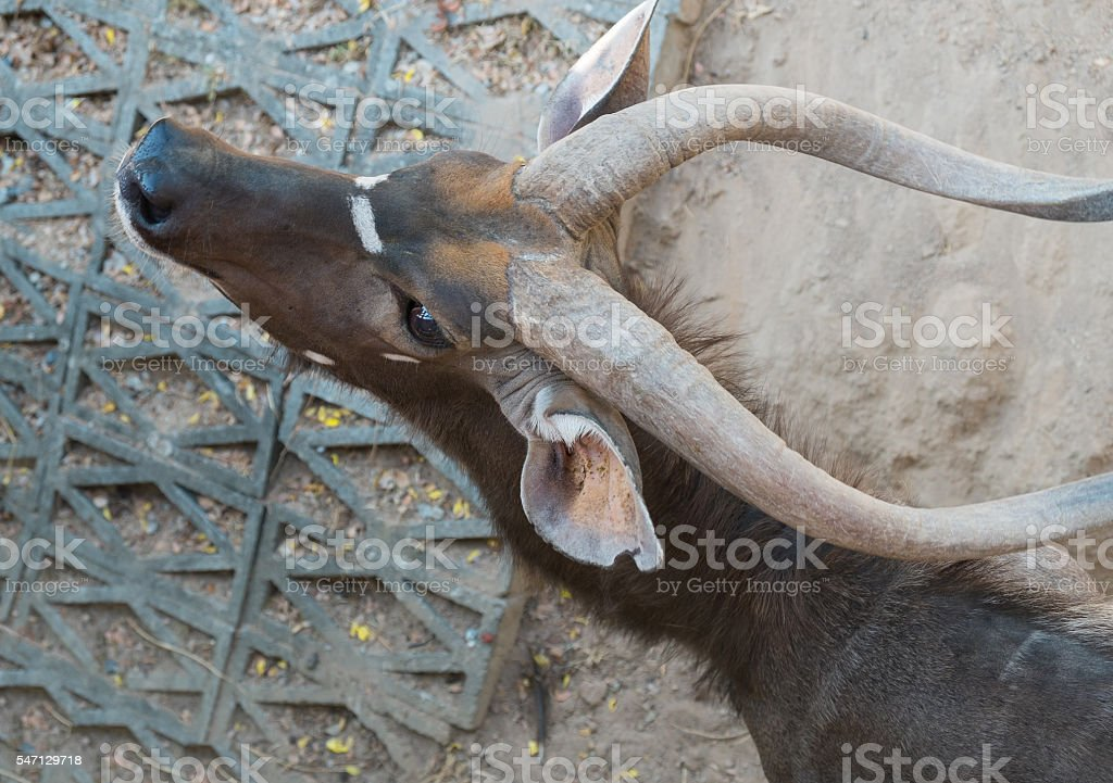 Nyala  Lizenzfreies stock-foto