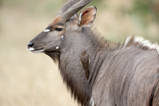 A beautiful male Nyala antelope with an oxpecker. Image was taken at Kruger Nationalpark, South Africa.