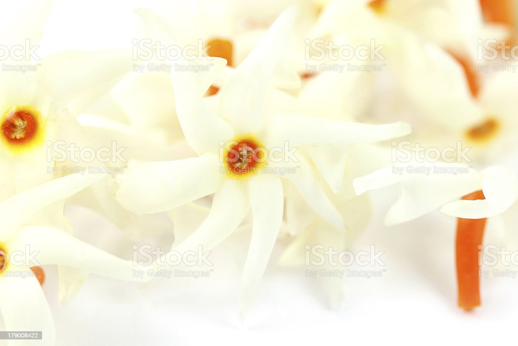 Nyctanthes arbor-tristis or Sheuli flower stock photo