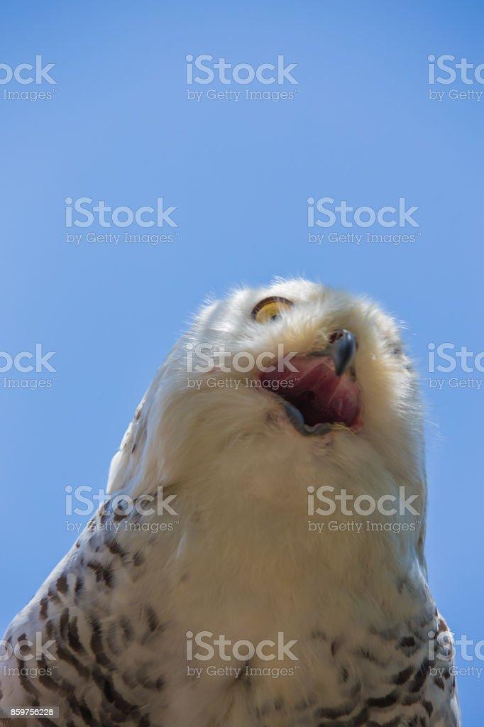 Nyctea scandiaca-Bubo scandiacus-Snow white owl stock photo