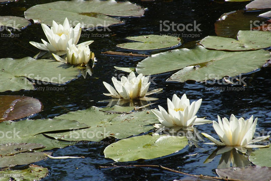 Nymphaea alba-five stock photo