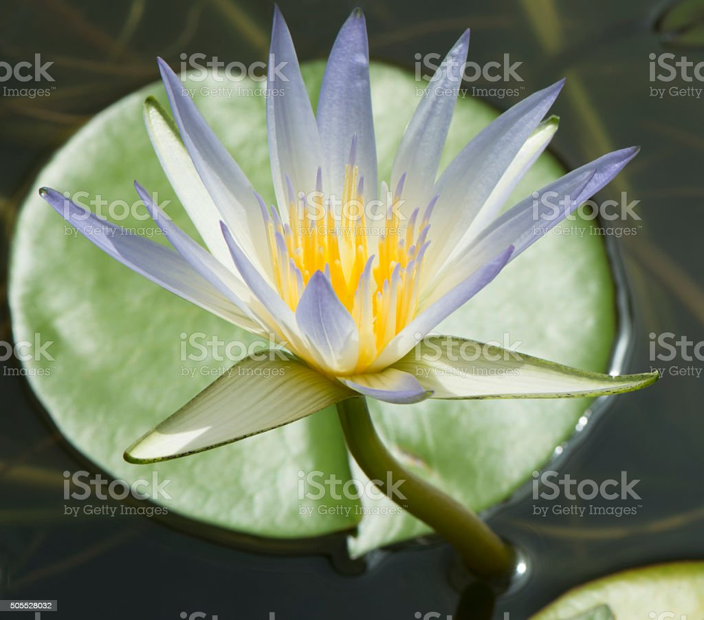 Nymphaea Caerulea Blue Lotus Of Egypt Stock Photo More Pictures Of