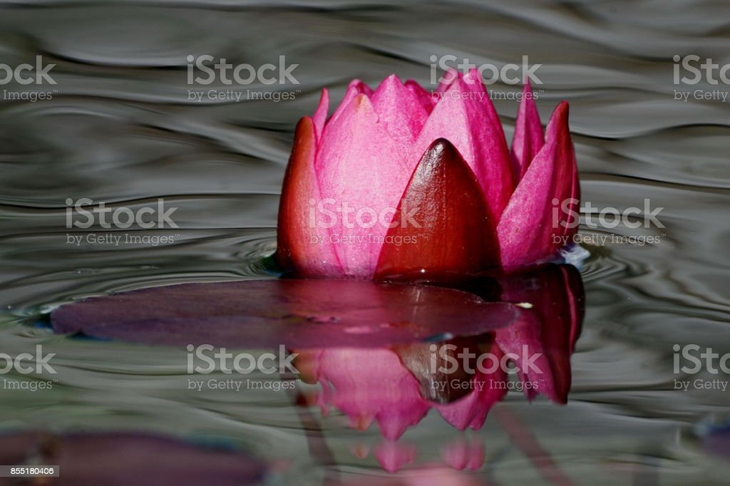 Nymphaea James Brydon water lily. stock photo