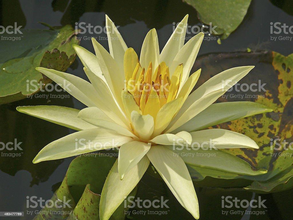 Nymphaea odorata, Lotus, Water Lilly stock photo
