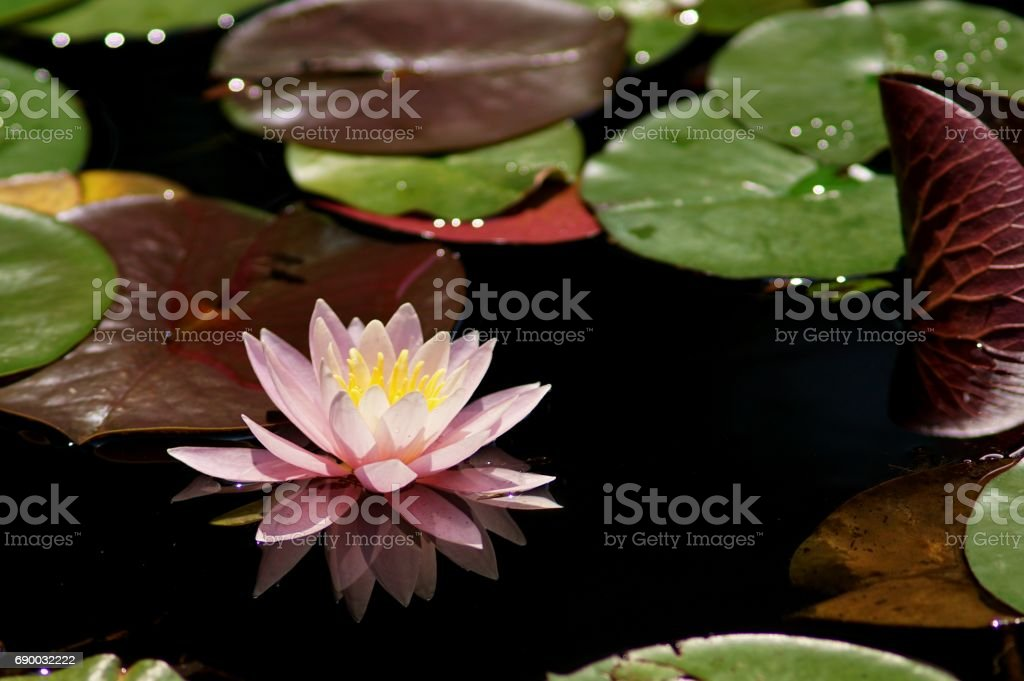 Nymphaea 'Pink Pearl' stock photo